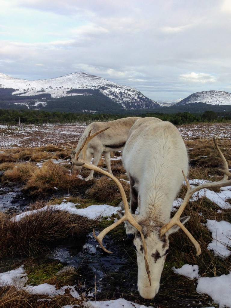 Scotland Cairngorm National Park Aviemore beautiful reindeer
