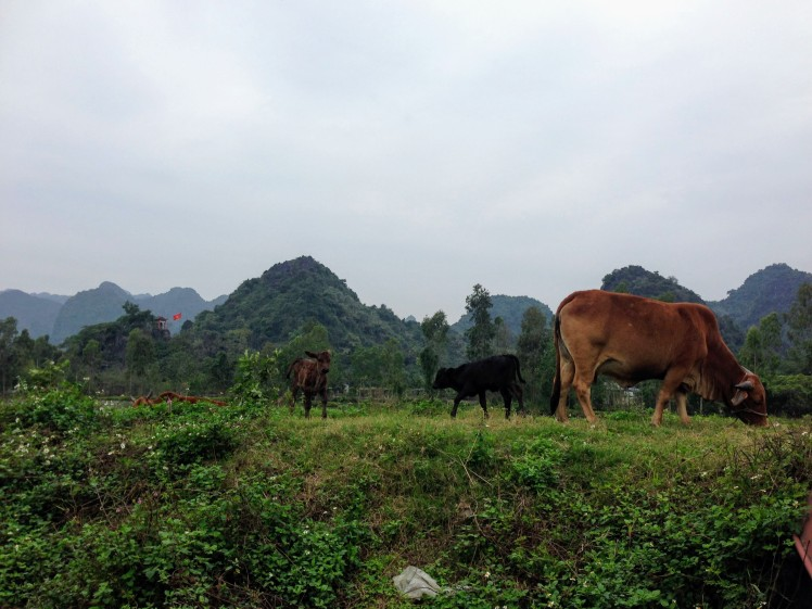 cows grazing vietnam