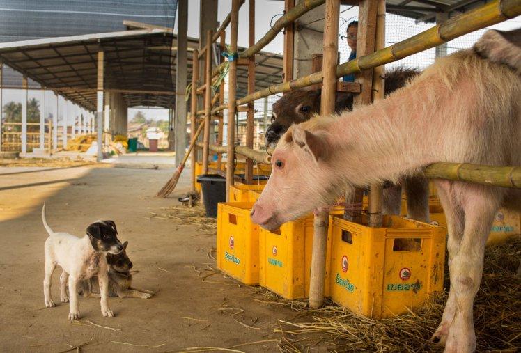 Buffalo dairy farm Luang Prabang Laos water buffalo calfs cute animals